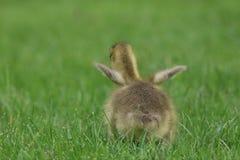 Меньший пушистый flapping Gosling гусыни Канады Стоковая Фотография RF