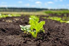 Меньший росток, избежание плантаций сахарной свеклы в поле, земледелии стоковые изображения