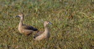 Меньший свистеть Ducks (Dendrocygna Javanica) Стоковые Фотографии RF