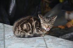 Меньший серый кот переулка после успешного рысканья стоковая фотография