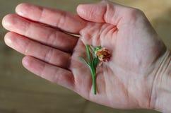 Меньший сломленный цветок в руке ` s женщины Конец-вверх стоковое изображение rf