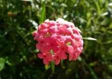 Меньший сладостный цветок Стоковое Изображение RF