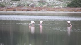 Меньший фламинго подавая среди больших фламинго сток-видео