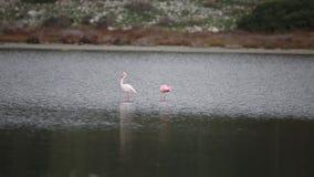 Меньший фламинго с большим фламинго акции видеоматериалы