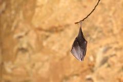 Меньший hipposideros Rhinolophus Horseshoe летучей мыши Стоковое фото RF