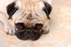 меньший pug Стоковое фото RF