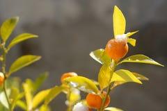 Меньший tangerine стоковое изображение rf