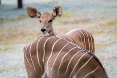 Меньший Tragelaphus Imberbis Kudu, молодая антилопа стоковое изображение