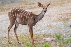 Меньший Tragelaphus Imberbis Kudu, небольшая антилопа стоковое изображение rf