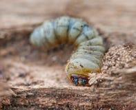 Меньший woodworm Стоковые Фотографии RF