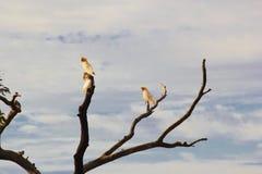 3 меньших какаду Corella садясь на насест на дереве Стоковое Изображение RF