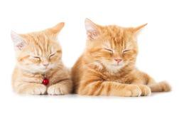 2 меньших кота shorthair имбиря великобританских Стоковые Фото