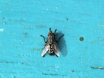 Меньшяя муха Стоковое Фото