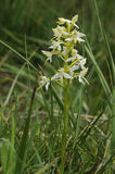 Меньшяя орхидея бабочки стоковые фотографии rf