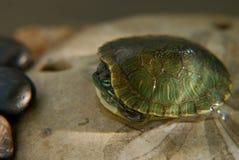меньшяя черепаха слайдера Стоковая Фотография RF
