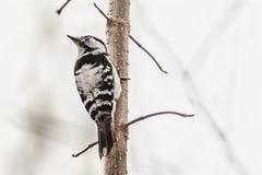 Меньш-запятнанный woodpecker Стоковое Изображение RF