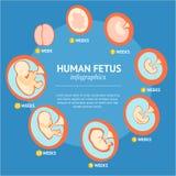 Меню Infographic развития этапа роста беременности фетальное вектор Стоковые Изображения RF
