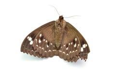 Мертвая бабочка изолированная на белой предпосылке Стоковые Фотографии RF