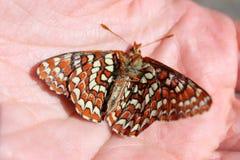 Мертвая бабочка Checkerspot стоковые изображения