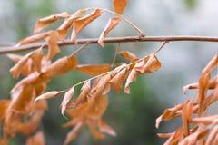 Мертвая ветвь с сухими листьями Стоковое Фото