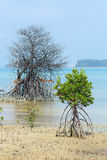 Мертвая и живая мангрова Mudflats ризофоры стоковое изображение rf