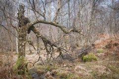Мертвая и сломленная серебряная береза при грибок кронштейна растя на ем Стоковые Изображения