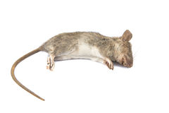 Мертвая крыса на белой предпосылке Стоковое Изображение