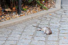 Мертвая крыса на улице стоковая фотография