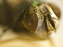 мертвая муха глаза Стоковое Фото