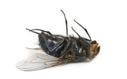 Мертвая муха лежа на своей изолированной задней части, Стоковая Фотография RF
