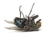 Мертвая муха изолированная на белизне Стоковое Изображение RF