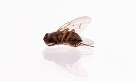 Мертвая муха комнатная Стоковые Фото