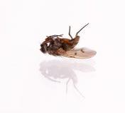 Мертвая муха комнатная Стоковые Изображения RF