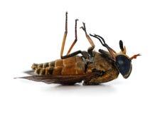 Мертвая муха - ноги в воздухе, над белизной Стоковое Изображение