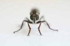 мертвая муха Стоковая Фотография