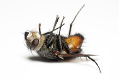 мертвая муха Стоковые Фото
