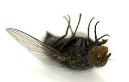мертвая муха Стоковое фото RF
