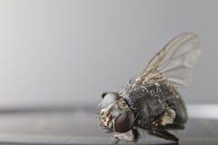 мертвая муха Стоковые Изображения RF