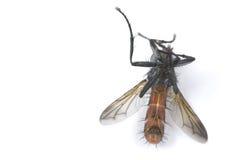 мертвая муха Стоковое Фото