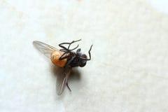 мертвая муха Стоковые Фотографии RF