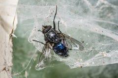 мертвая муха Стоковое Изображение RF