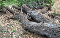 Мертвая переплетенная сосна в горах валяться, NE Орегон, США стоковое фото rf