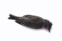 Мертвая предпосылка птицы в природе, изолированной мертвой птице на белизне Стоковое Изображение