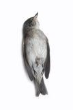 Мертвая предпосылка птицы в природе, изолированной мертвой птице на белизне Стоковая Фотография RF