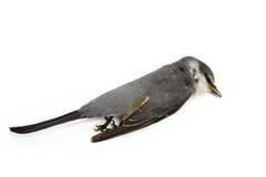 Мертвая предпосылка птицы в природе, изолированной мертвой птице на белизне Стоковые Фотографии RF