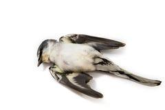 Мертвая предпосылка птицы в природе, изолированной мертвой птице на белизне Стоковое фото RF