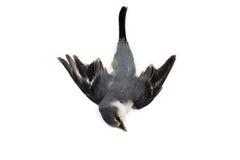 Мертвая предпосылка птицы в природе, изолированной мертвой птице на белизне Стоковая Фотография