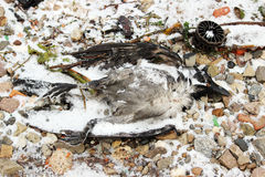 Мертвая птица на речном береге Стоковое Фото