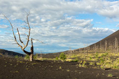 Мертвая древесина - последствие катастрофического отпуска золы во время извержения вулкана в Tolbachik 1975 северном Стоковые Изображения RF