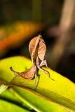 Мертвая сторона mantis лист Стоковые Фото